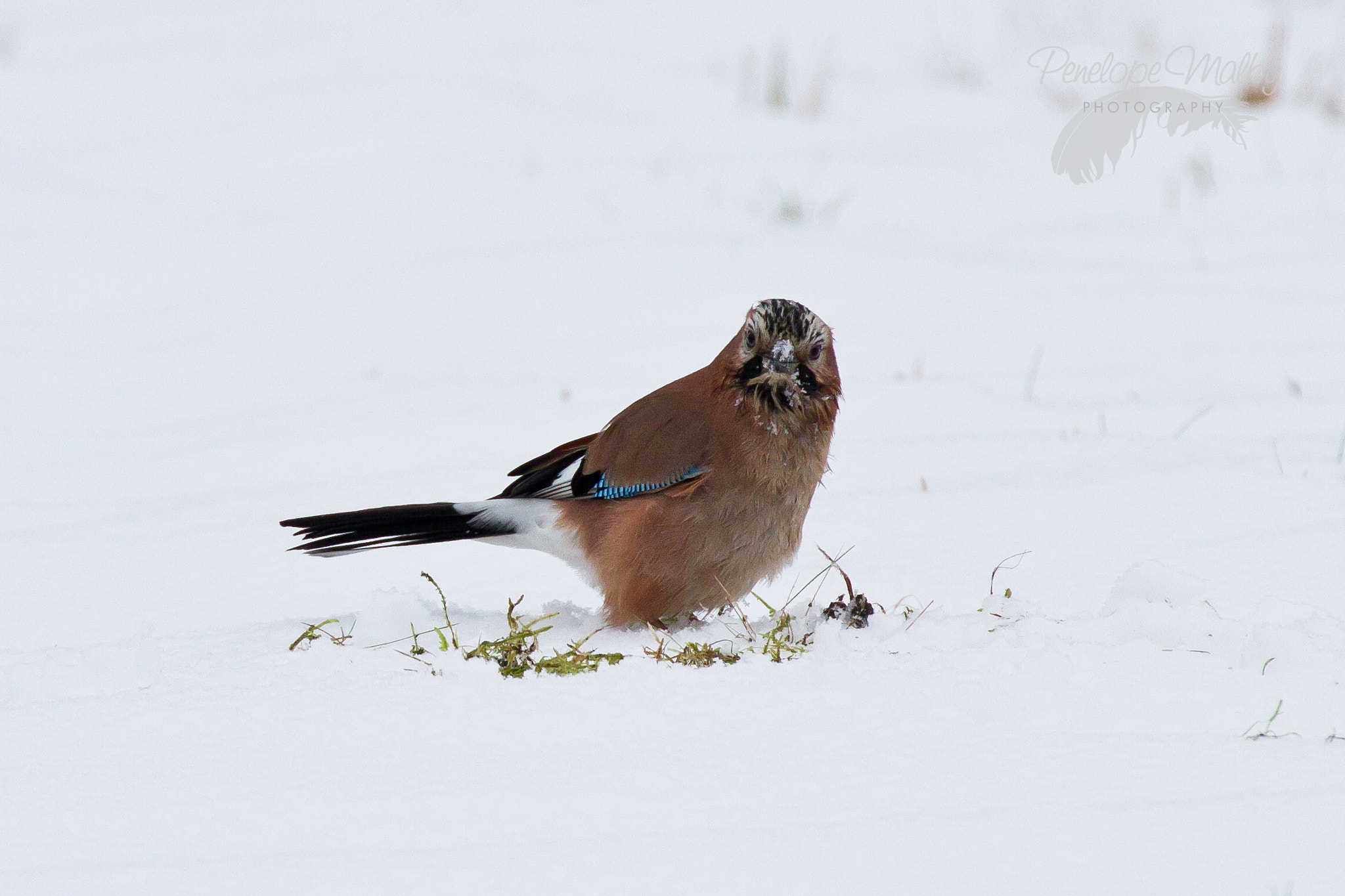 Photograph Just a Jay by Penelope Malby on 500px