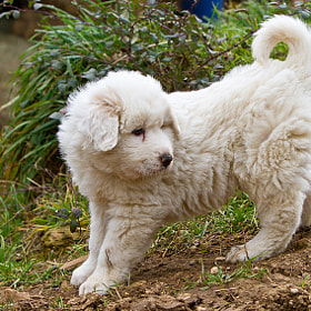 Great Pyrenees puppy by Philippe Lebeaux (Batmosquito)) on 500px.com
