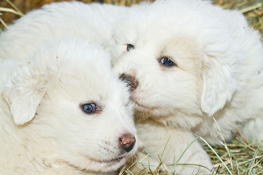 Photograph Great Pyrenees puppy by Philippe Lebeaux on 500px