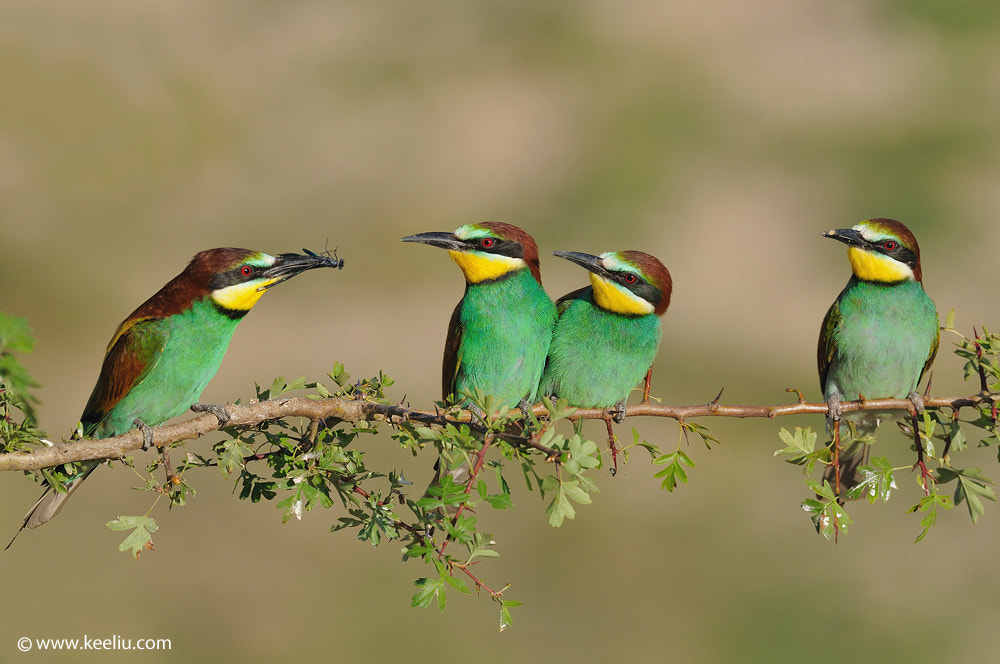 Photograph European Bee-eater by Kee Liu on 500px