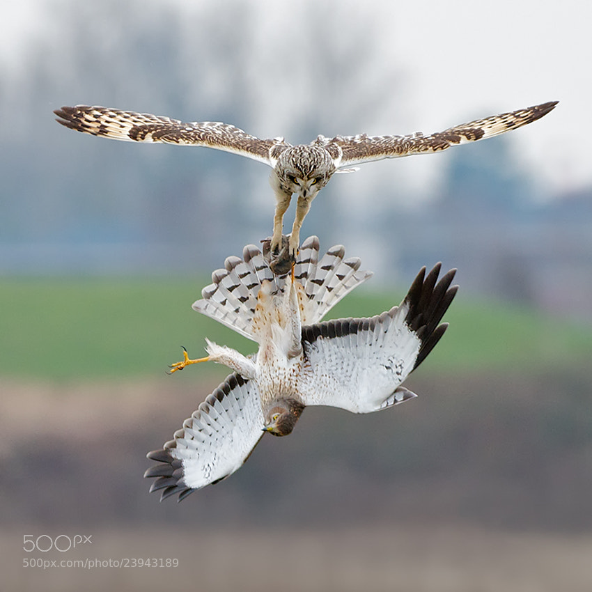 Photograph Short-Eared Owl and Harrier Fight over Vole by Sean Crane on 500px
