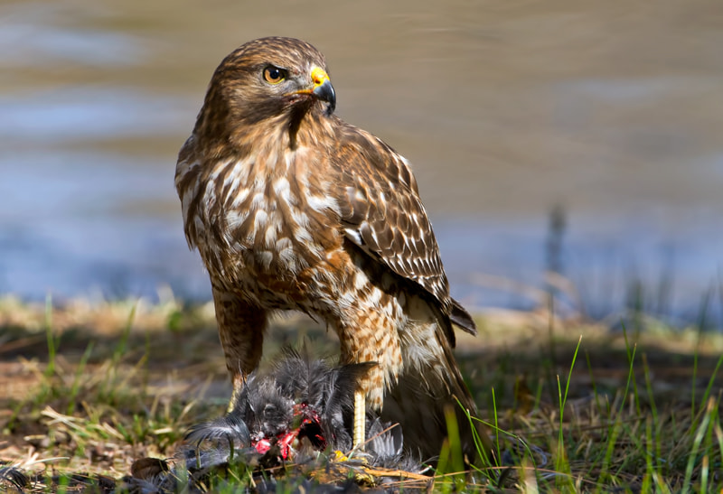 Photograph Juvenile Red-Shouldered Hawk by Jon Miller on 500px