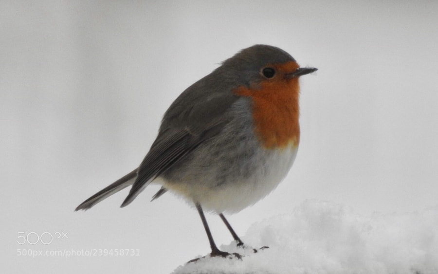 Robin in the snow....