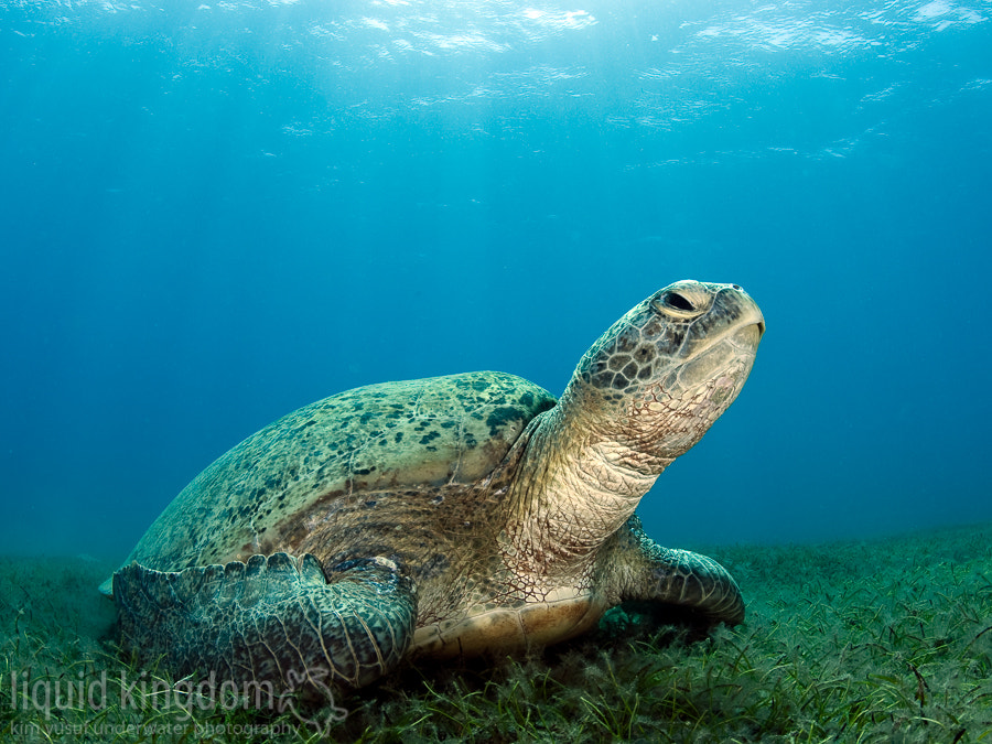 Photograph grazing turtle by Kim Yusuf on 500px