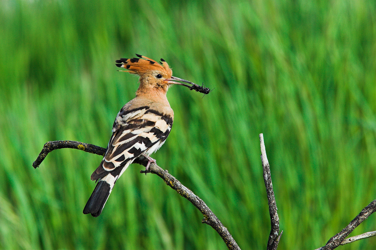 Photograph Hoopoe by Javier Abad on 500px