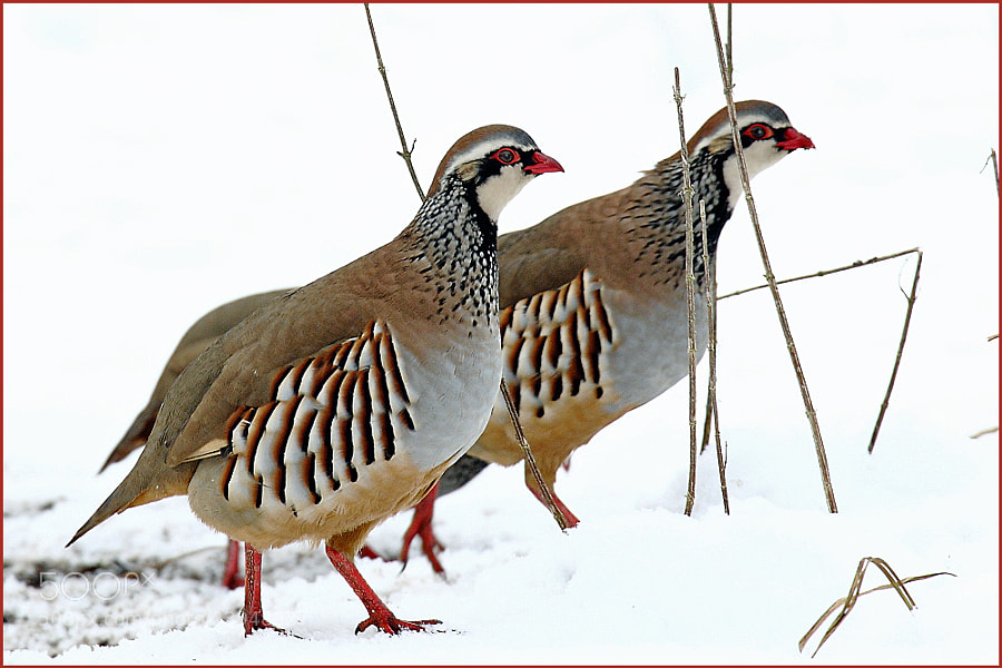 Photograph partridges. by colin beeley on 500px