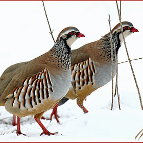 partridges. by colin beeley (colinsphotos)) on 500px.com