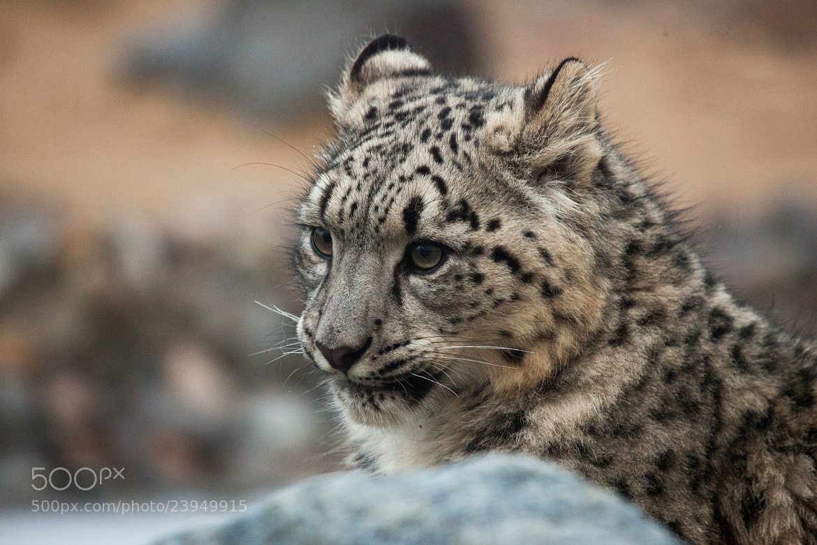 Photograph Snow Leopard Cub by Justin Bloom on 500px