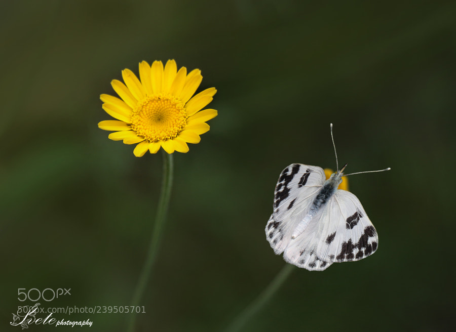 White butterfly and yellow daisy