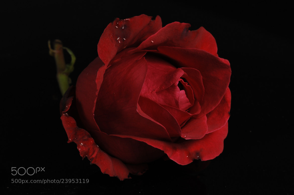 Photograph Red Rose by Cristobal Garciaferro Rubio on 500px