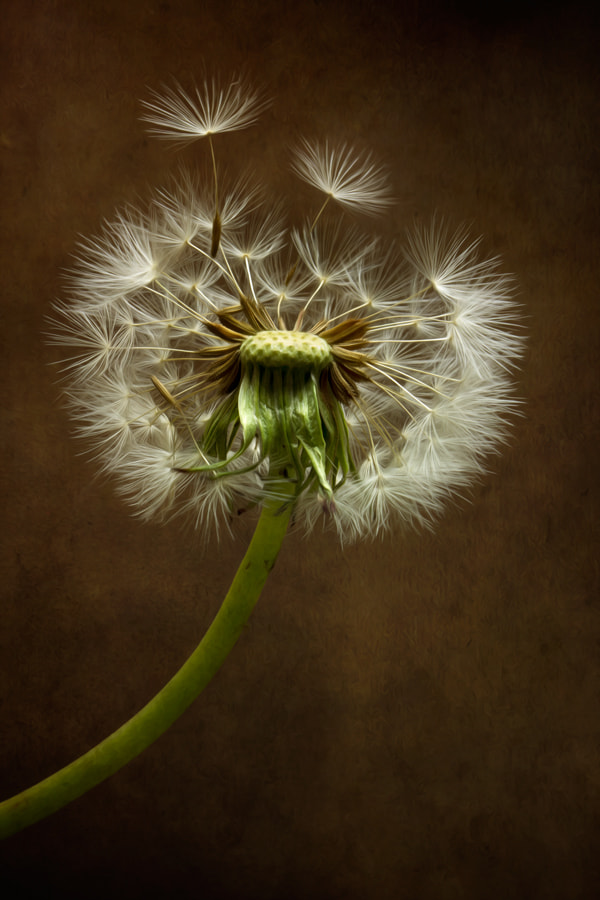 Photograph Dandy by Mandy Disher on 500px