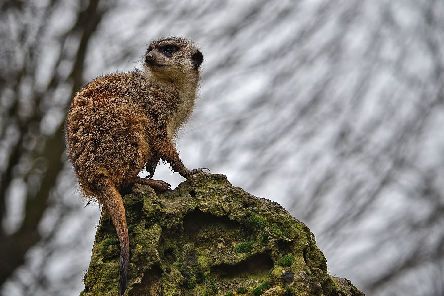 Photograph Suricate by Michel L'HUILLIER on 500px