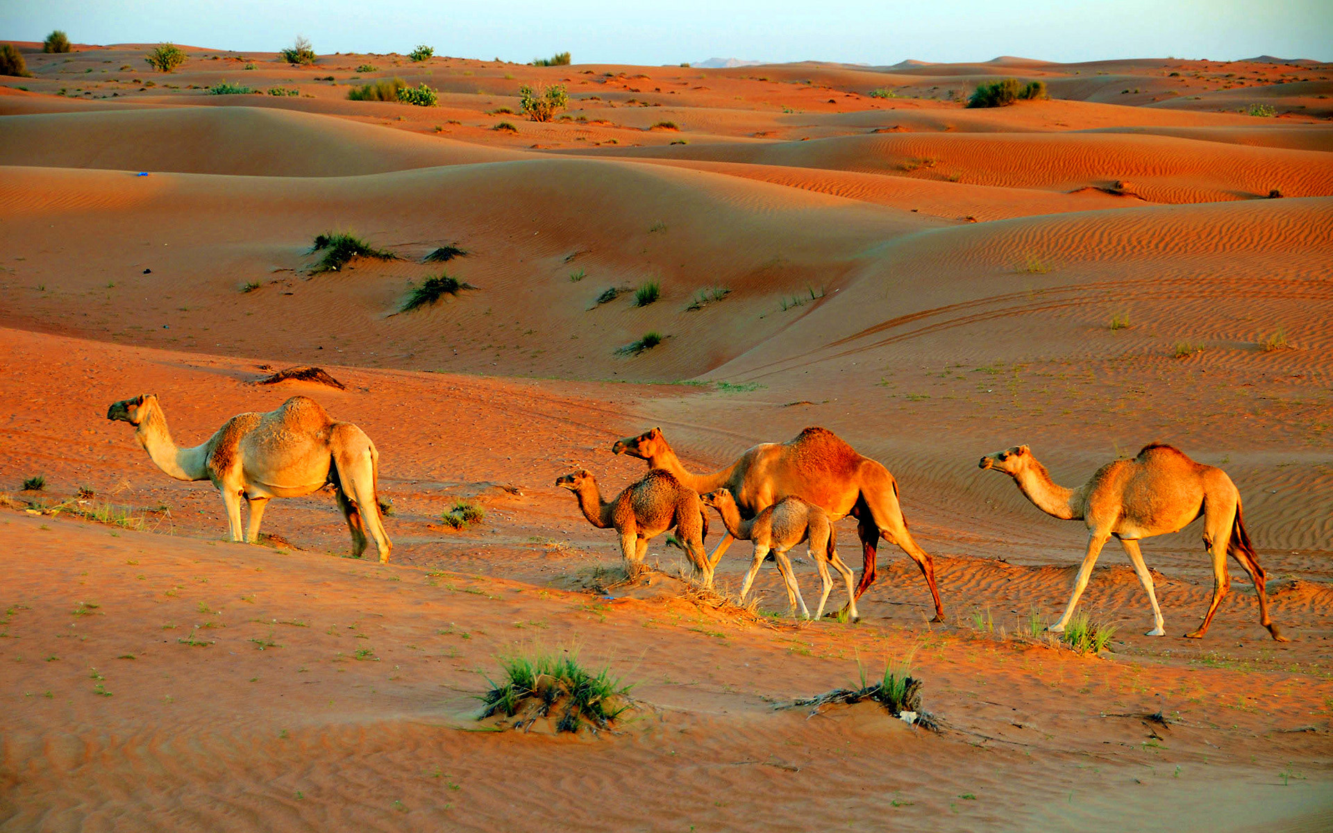 Photograph Camels in Dubai by michael  on 500px