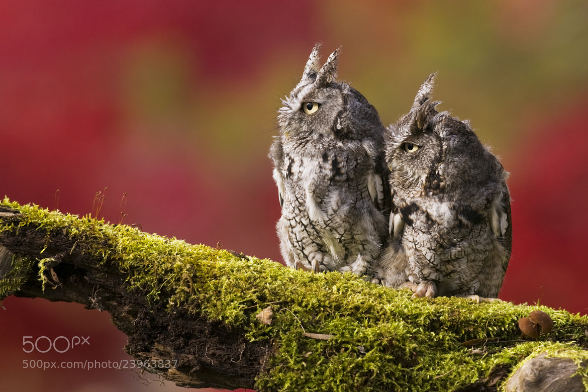 Photograph Eastern Screech Owls by Jerry Peltier on 500px