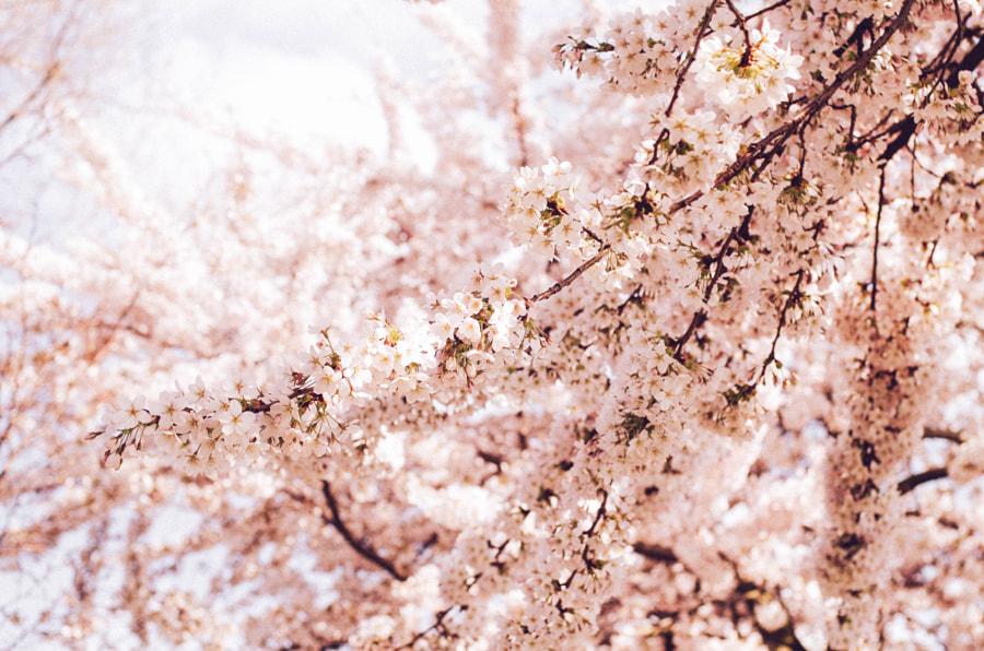 Cherry blossom WESTERPARK Amsterdam