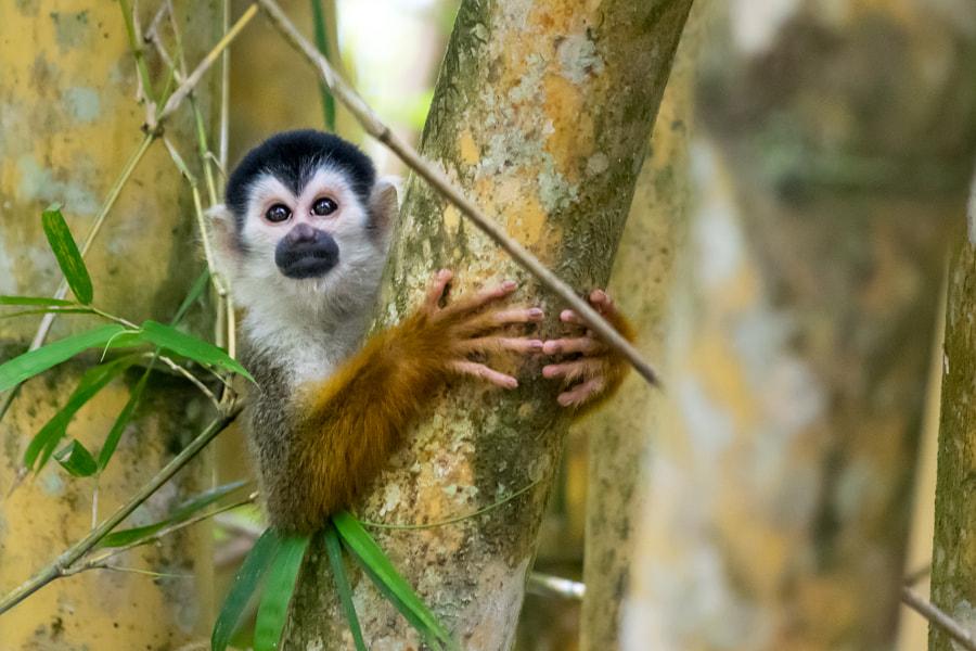 Squirrel monkey - Costa Rica by Aurélien Pelsener on 500px.com