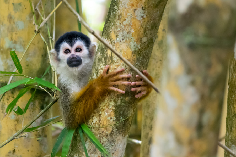 Squirrel monkey - Costa Rica by Aurélien Pelsener | 500px.com
