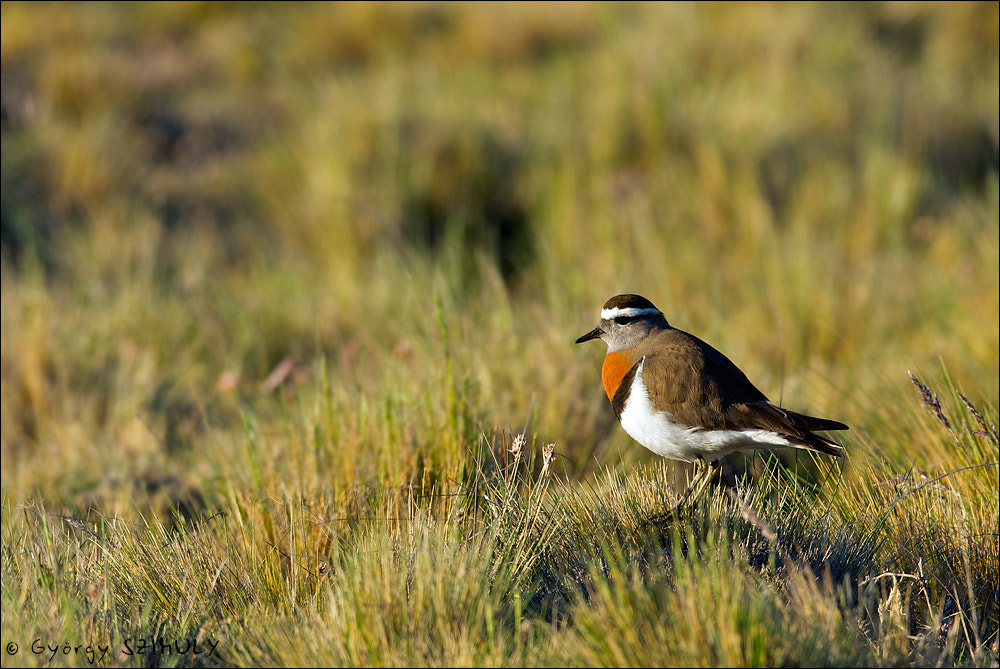 Photograph Rufous-chested Plover (Charadrius modestus) by Gyorgy Szimuly on 500px