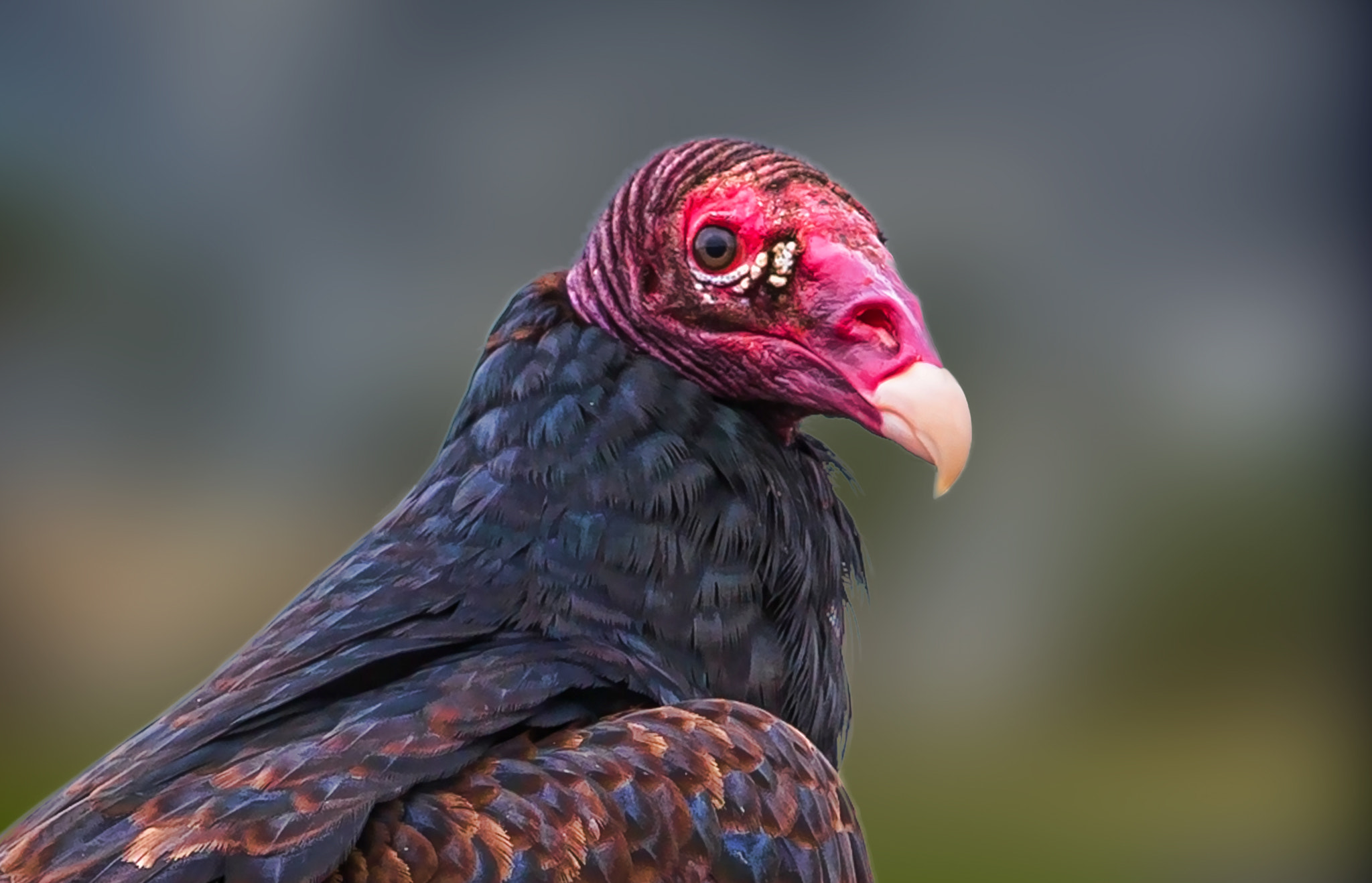 Photograph Turkey Vulture by George Bloise on 500px