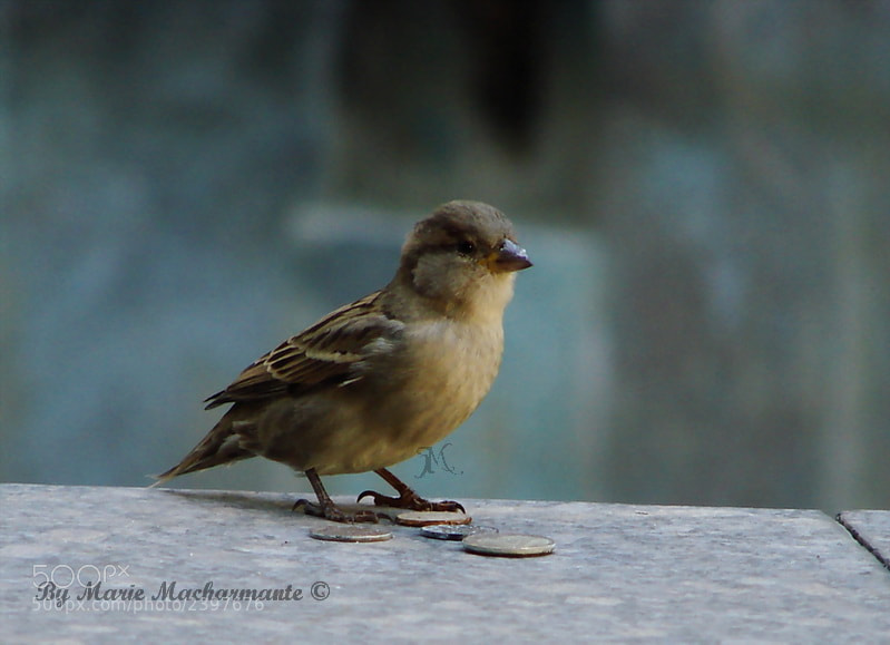 Photograph Sparrow by Marie Macharmante on 500px