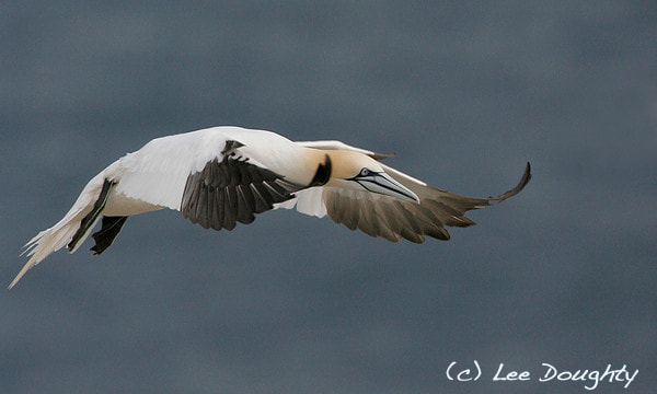 Photograph Northern Gannet by Lee Doughty on 500px