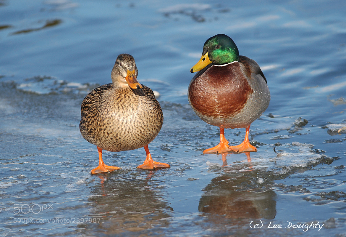Photograph Female and Male Mallard by Lee Doughty on 500px