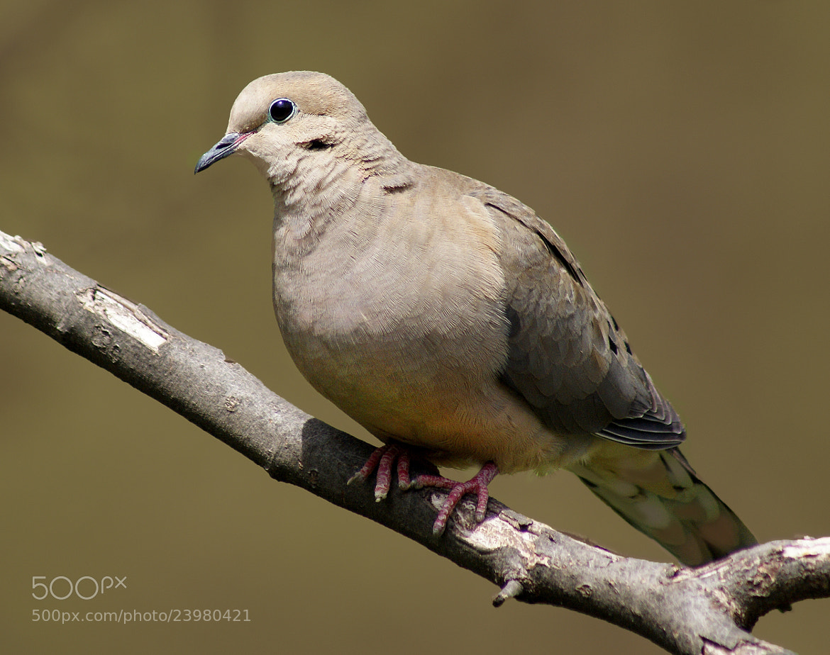 Photograph Dove by Brian Masters on 500px
