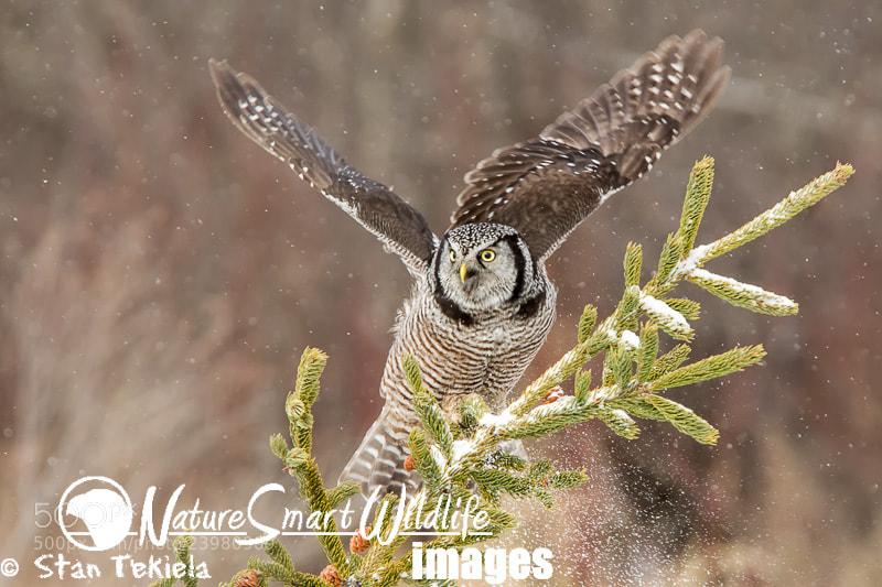 Photograph Northern Hawk Owl by Stan Tekiela on 500px