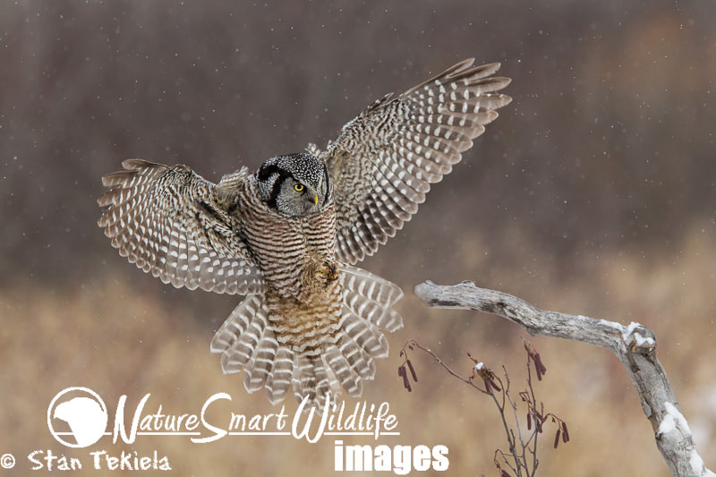 Photograph Northern Hawk Owl by Stan Tekiela on 500px