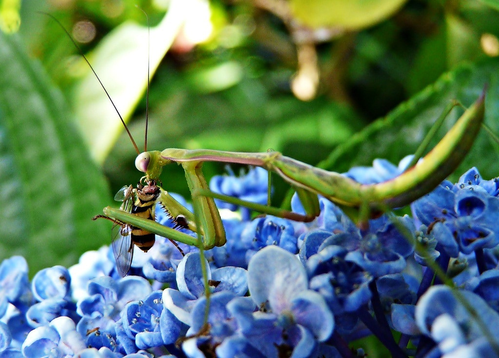 Photograph Praying Mantis with His Beheaded Dinner by Lee Harth on 500px