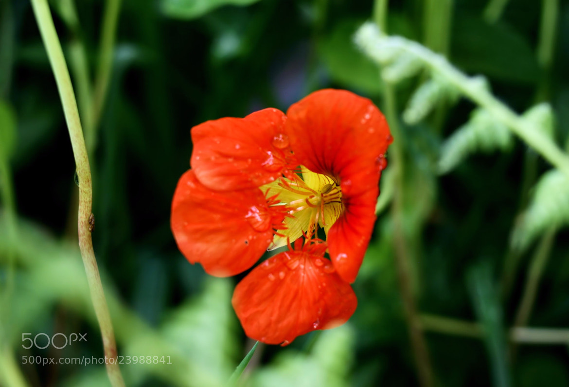 Photograph Red Wild Flower at Dieng by Virna P Setyorini on 500px