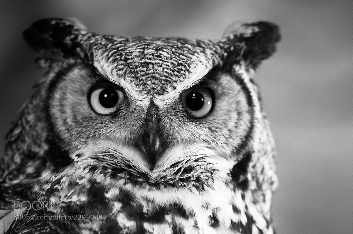 Photograph Great Horned Owl * 8067 by Mark Shannon on 500px