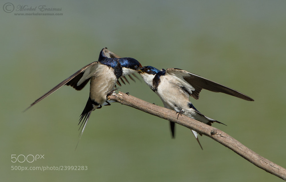 Photograph Swallow this Kiss by Morkel Erasmus on 500px