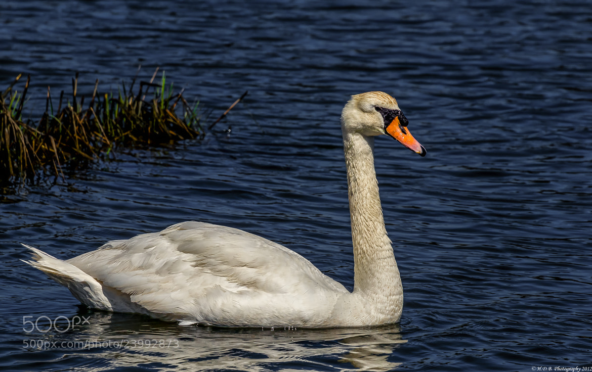 Photograph Mute Swan by Harold Begun on 500px