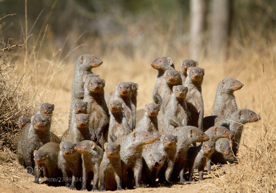 A Business Of Mongoose
