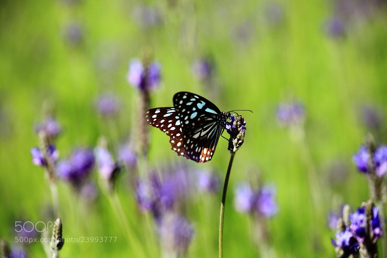 Photograph Euploea Alcathoe by Mike Hsu on 500px