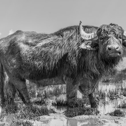 muddy cow @ lake Neusiedlersee