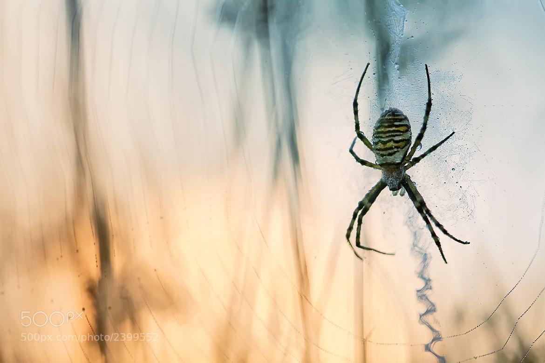 Photograph Argiope bruennichi by Peter Baas on 500px