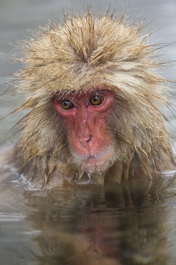 Photograph Snow Monkey. by Peter Edge on 500px