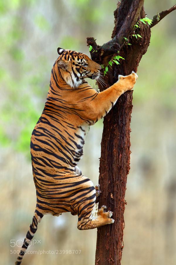 Photograph Tiger climb by Prabu dennaga on 500px