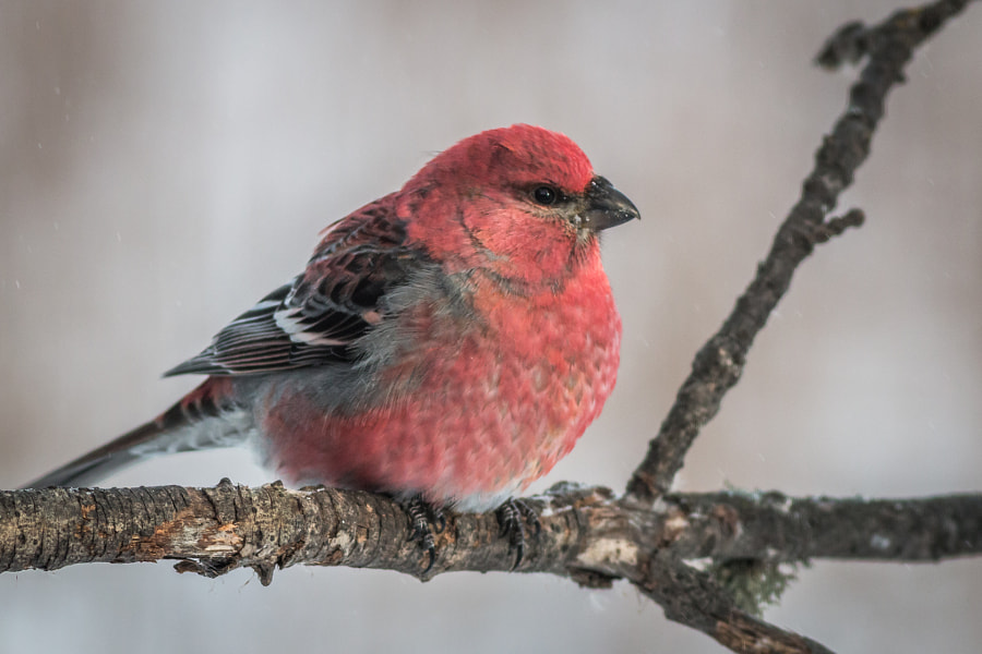 Pine Grosbeak, автор — Gordon Pusnik на 500px.com