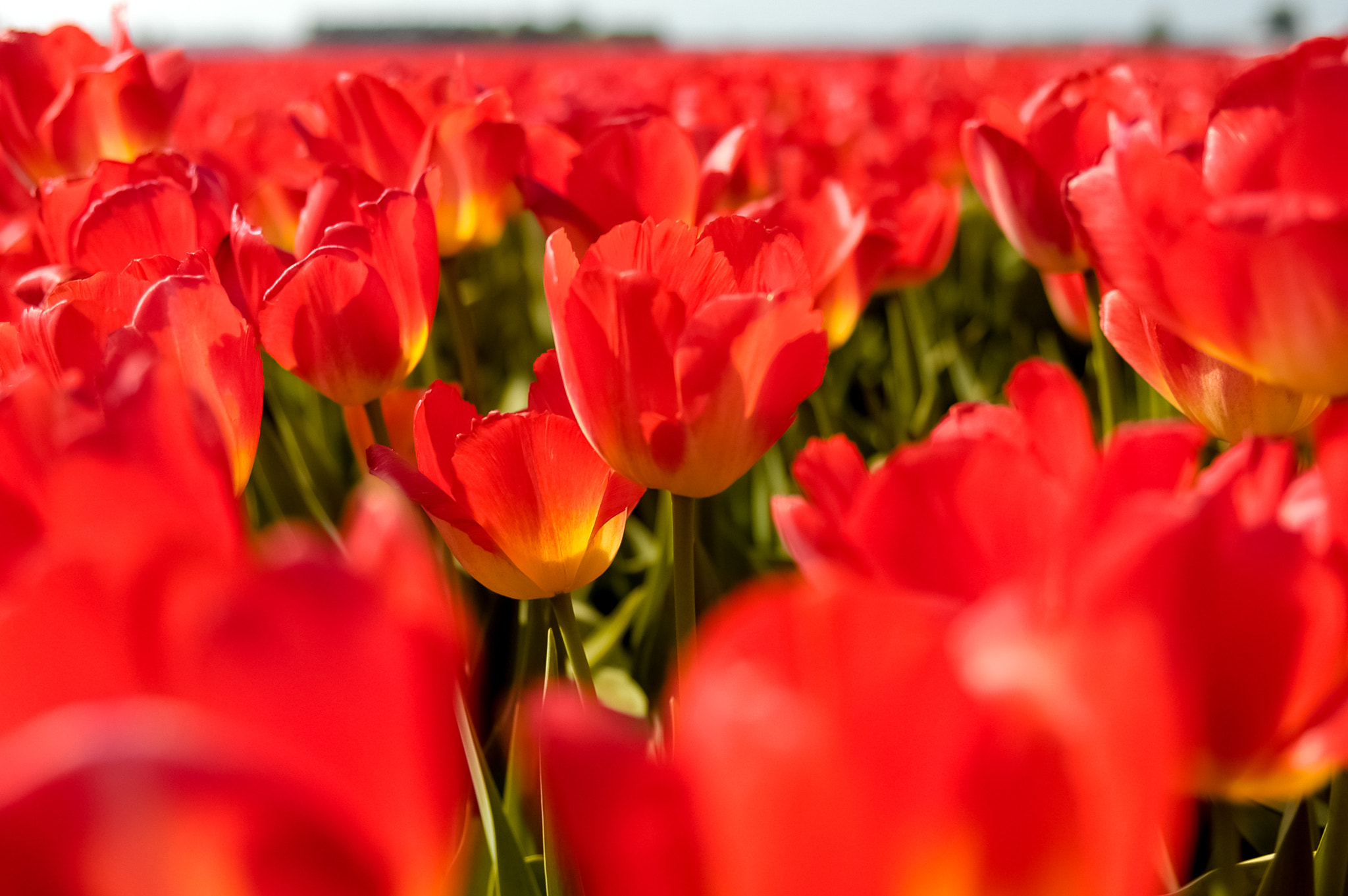 Photograph Dutch Tulips! by Arash Khamooshian on 500px