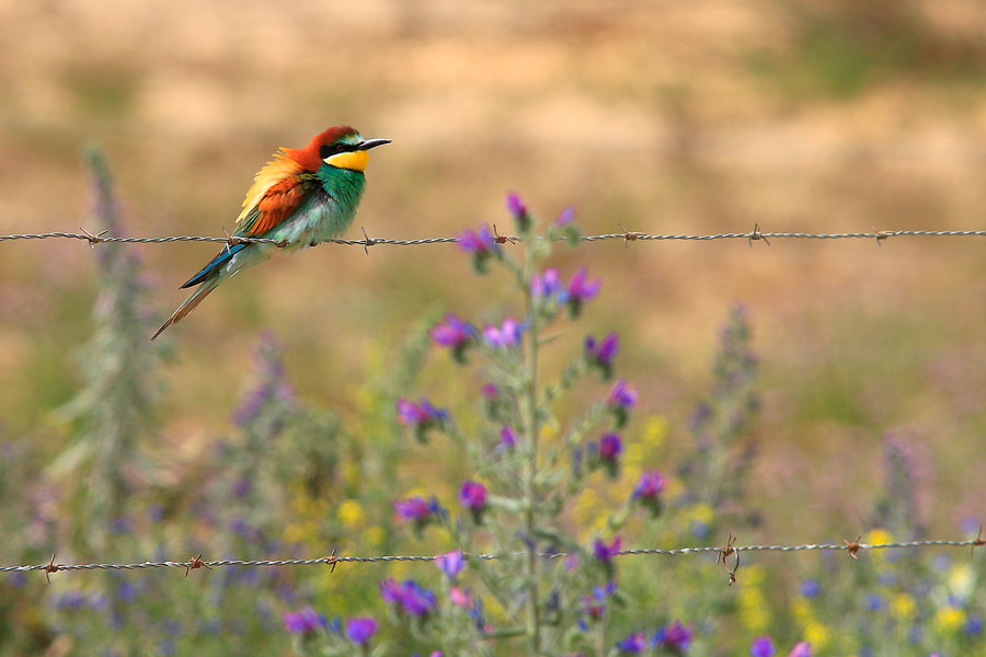 Photograph bee-eater by Andrés López on 500px