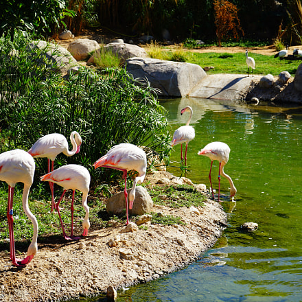 Flamingo at Alain Zoo