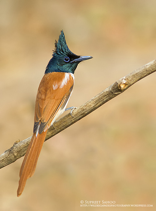 Photograph Asian Paradise Flycatcher  by Supreet Sahoo on 500px