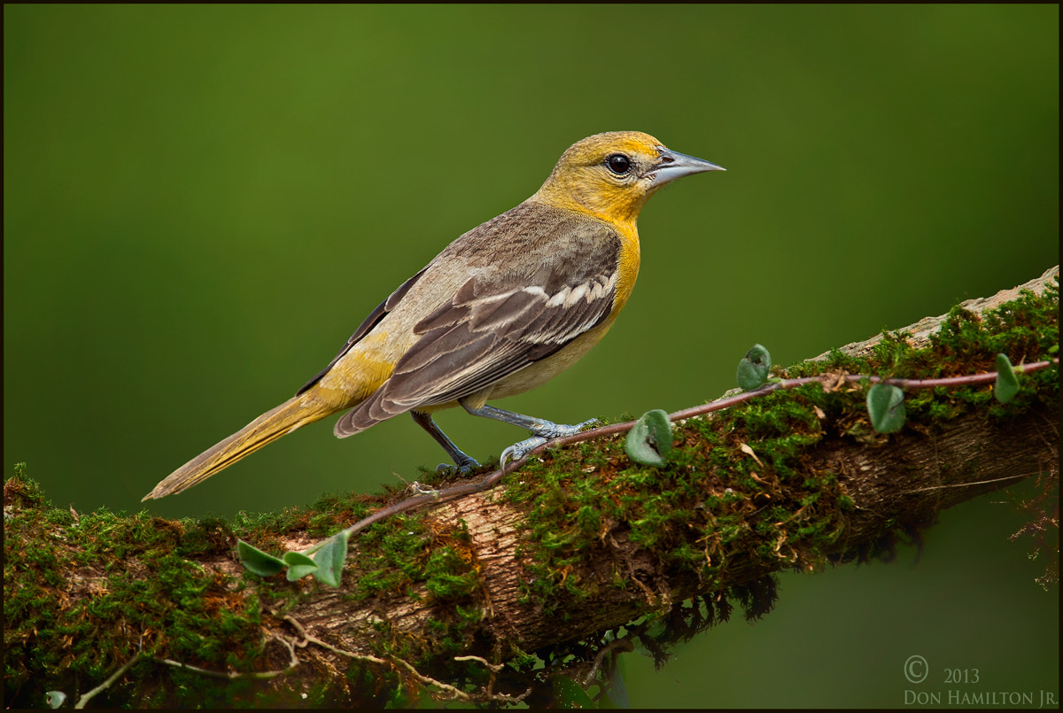 Photograph Female  Baltimore Oriole  by Don  Hamilton Jr. on 500px