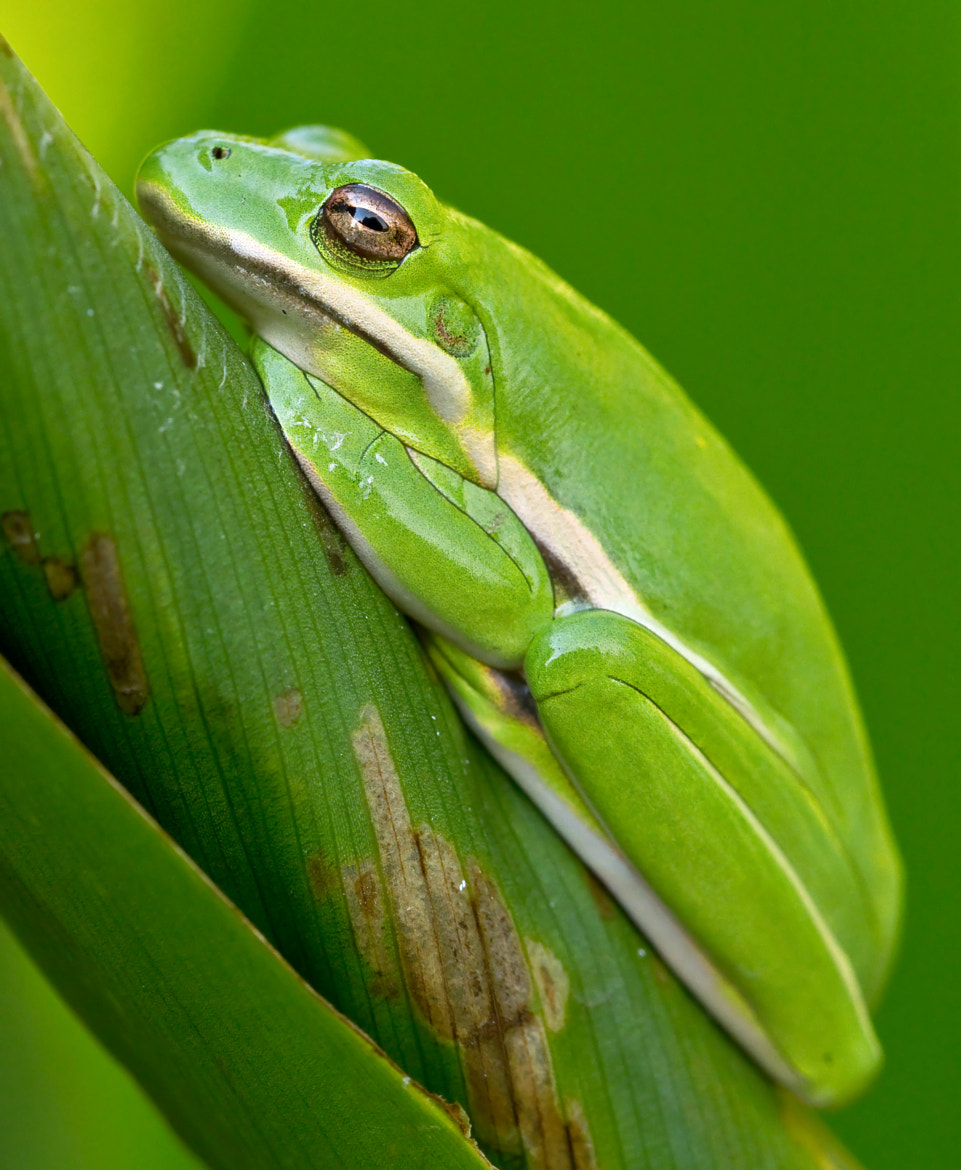 Photograph Sleepy Tree Frog by Lorraine Hudgins on 500px