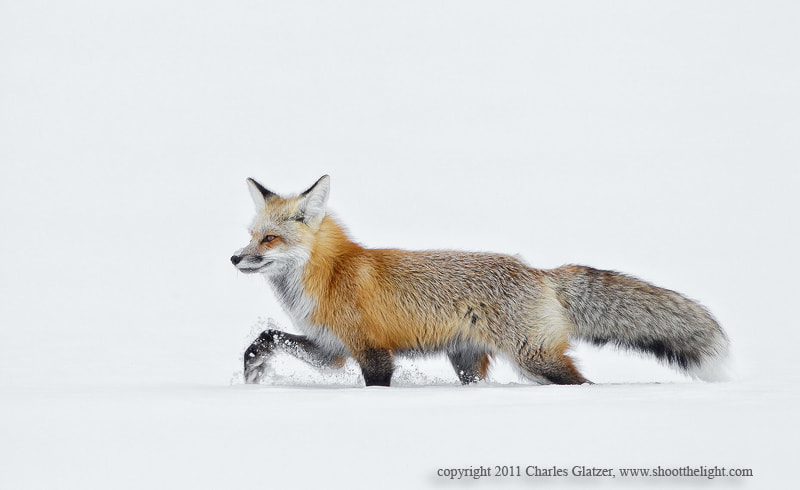 Photograph Fox trot by Charles Glatzer on 500px