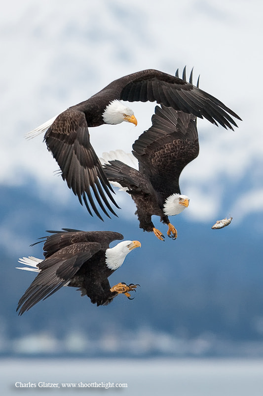 Photograph Bald eagles by Charles Glatzer on 500px
