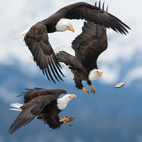 Bald eagles by Charles Glatzer (Chas)) on 500px.com
